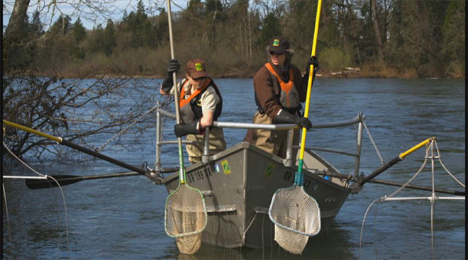 Electrofishing the McKenzie River