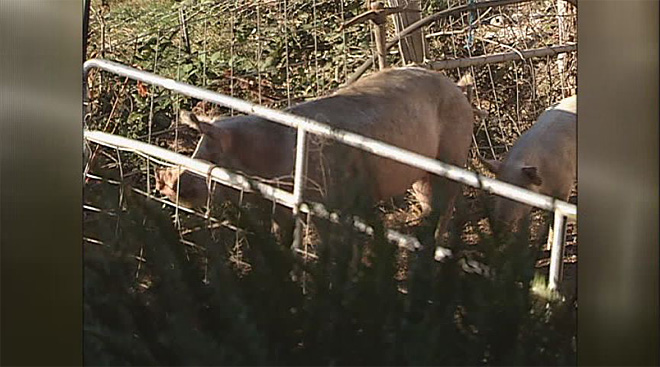 Farmer eaten by hogs on Oregon farm