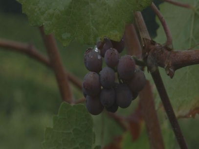 Long dry spell boosts Oregon grape harvest