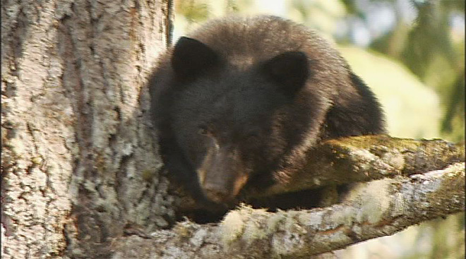 Injured bear takes shelter in tree (1)