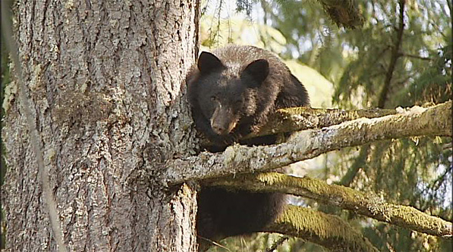 Injured bear takes shelter in tree (2)