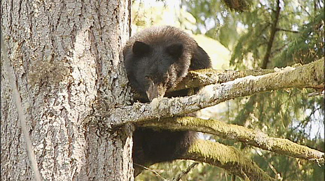 Injured bear takes shelter in tree (6)