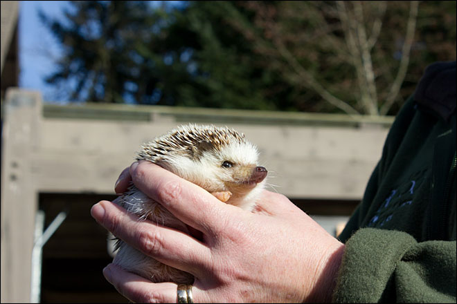 Oregon Zoo's hedgehog sees shadow, predicts 6 more weeks of winter