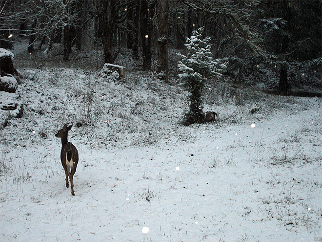 Joe Ross snow deer Roseburg December 6 (2)