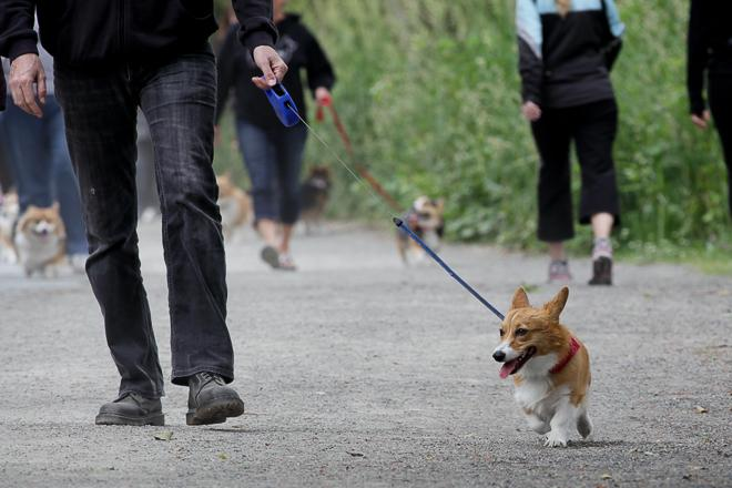 June corgi walk around Green Lake