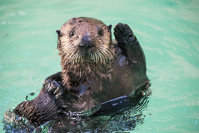 Sea otters abandoned in California find new home in Oregon