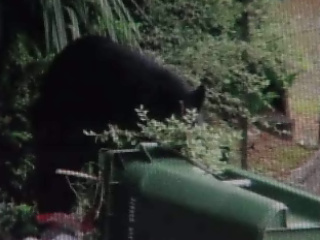 Bear sightings on the rise on Oregon Coast