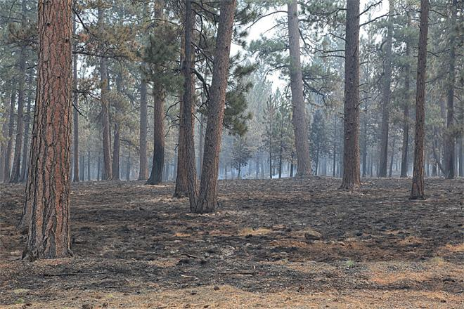 Large Ponderosa pines sit within an area where successful burnout operations reduced the ground fuels but maintained larger trees - Credit_Tom Iraci.jpeg