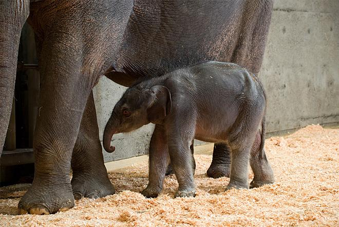 Lily the baby elephant at the Oregon Zoo (2)