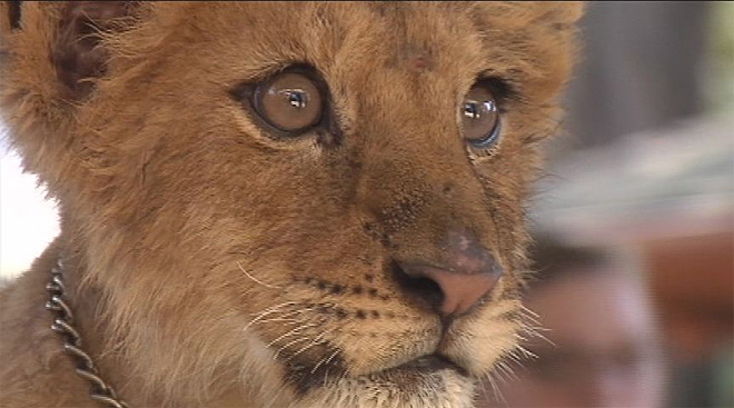 Lion cub joins wildlife safari: 'She's also a big sweetheart'