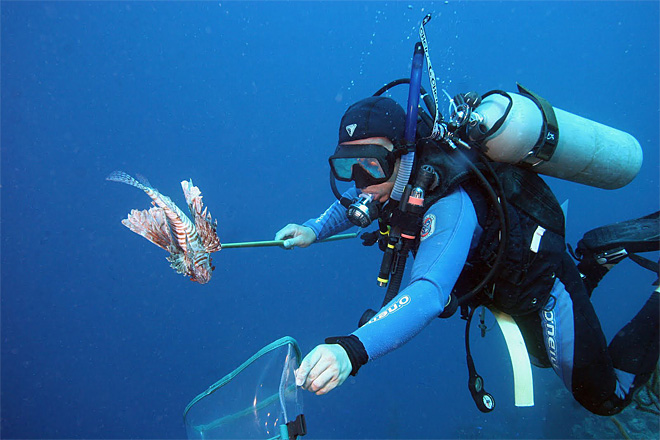 Lionfish the terminators of the sea