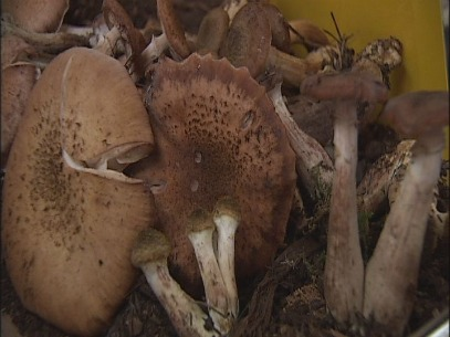 Fungus festival a hit for more than mushroom lovers