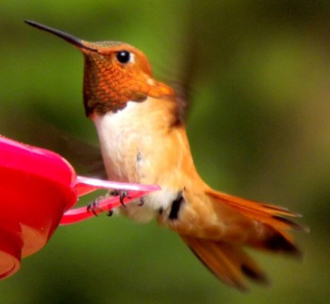 Male rufous hummingbird in North Bend by algoressister