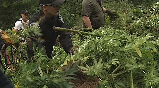 Marijuana grow operation bust in the Willamette National forest