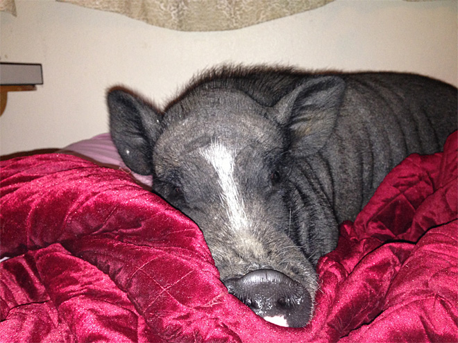 Missing Pig: 'He loves to take walks, go swimming and snuggle at night'