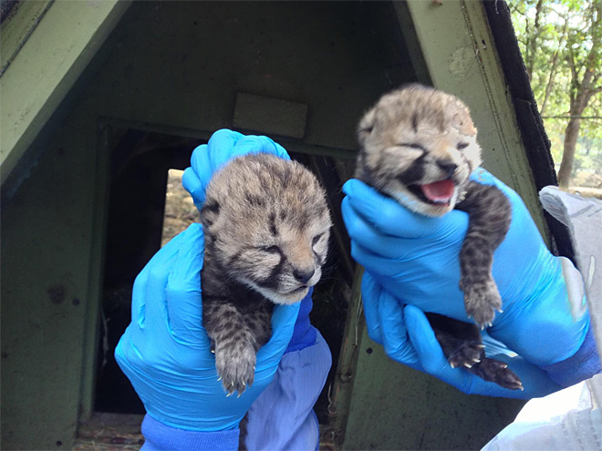 Wildlife Safari welcomes 2 cheetah cubs