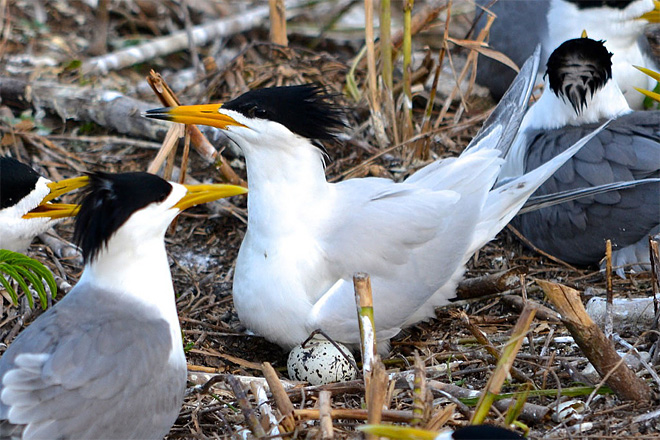 OSU and Chinese crested terns