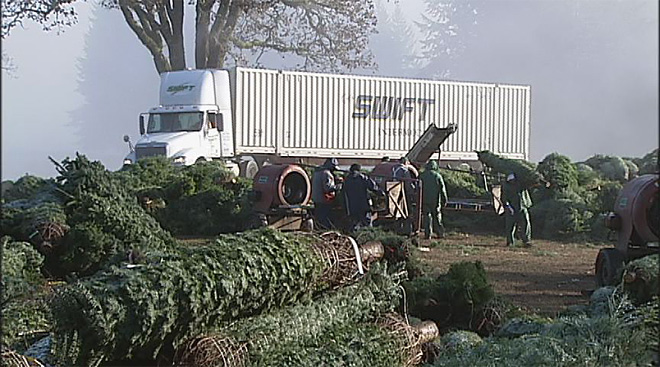 Oregon Christmas tree harvest 2012 (3)