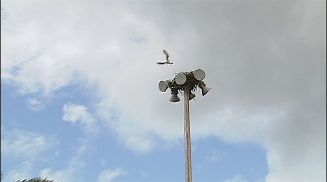 Osprey nest on top of softball field lights (2)