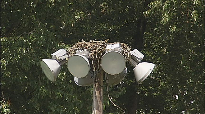 Osprey nest on top of softball field lights (3)