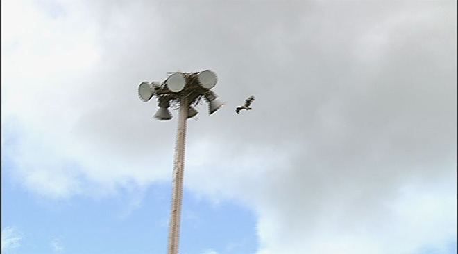Osprey nest on top of softball field lights (5)