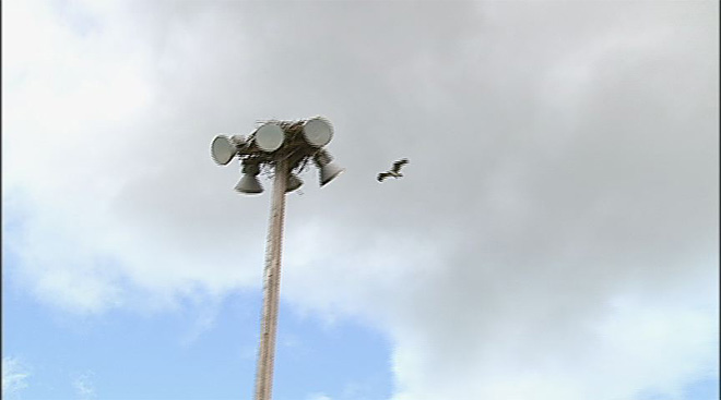 Osprey nest on top of softball field lights