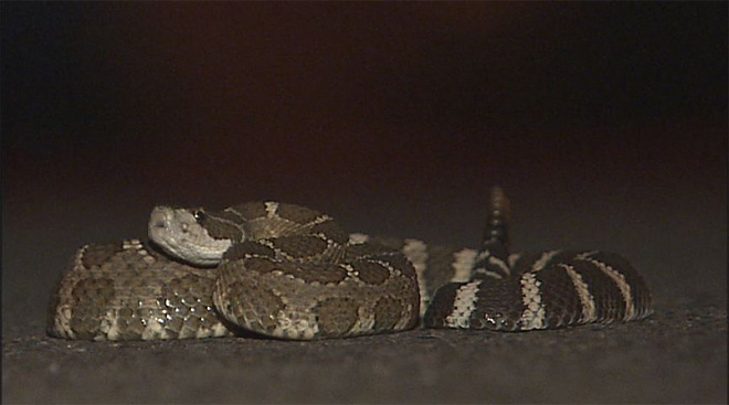 Rattlesnakes in Eugene: 'They're going to bite in self defense'