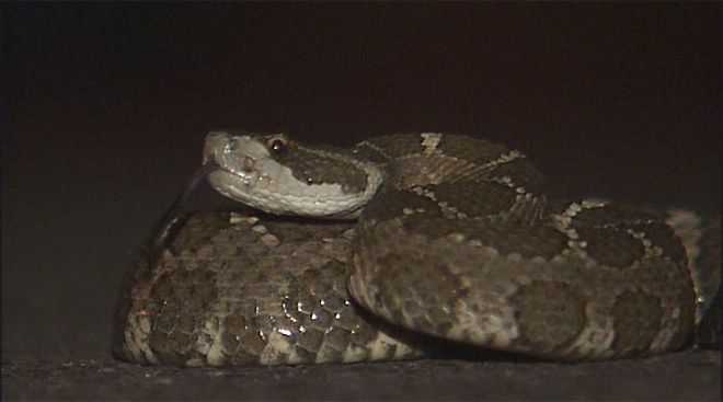 Rattlesnake in parking lot: 'I will probably have nightmares tonight!'