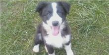 my border collies are born for the camer