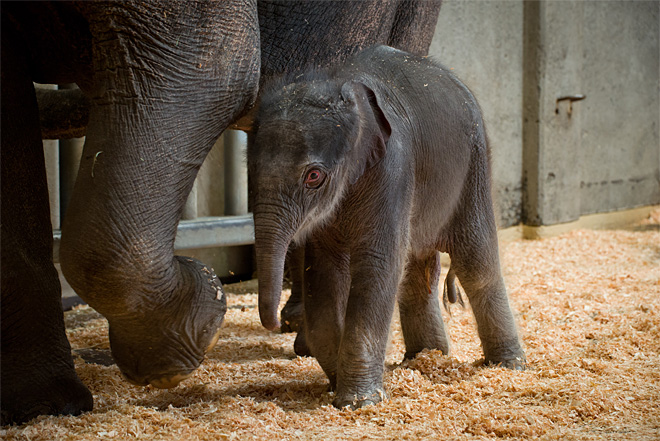 newborn elephant