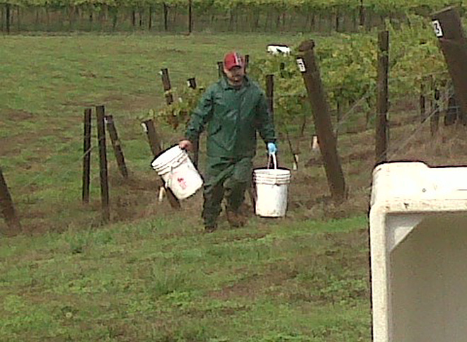 With vintage at risk, winemakers slog through soggy harvest