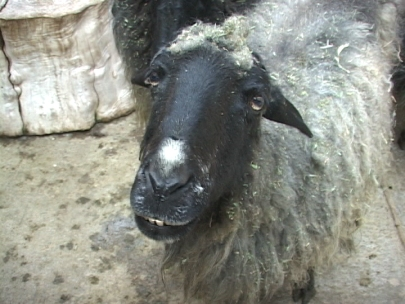 4H sheep killed, shot at close range