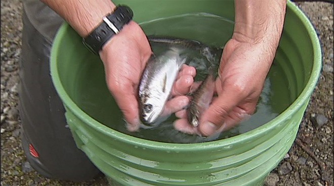 Salmon get a helping hand at Fall Creek Reservoir (5)