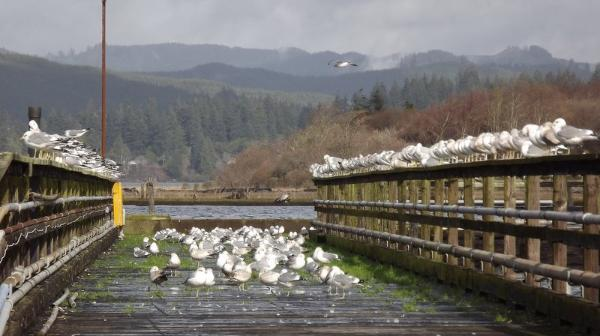 Seagulls flock to the old Coast Guard dock in Coos Bay in a photo submitted by YouNews photograper MZLAUREL