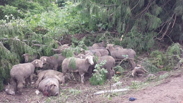 Sheep killed and injured in crash (1)