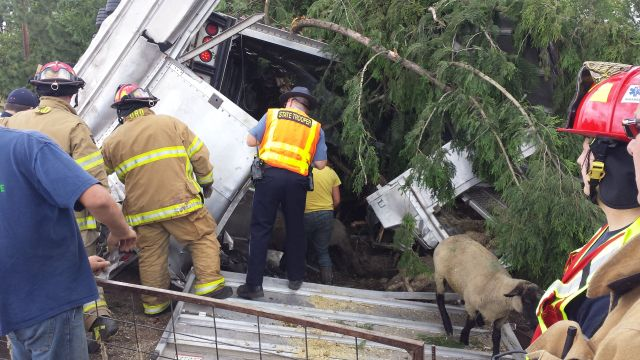 Crash injures trucker, kills and wounds sheep