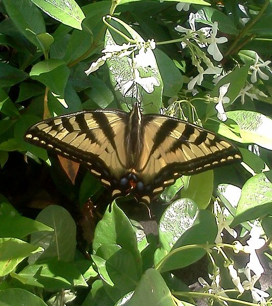State Butterfly Oregon Swallowtail
