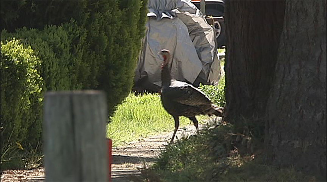 Town takes aim at wild turkeys (4)