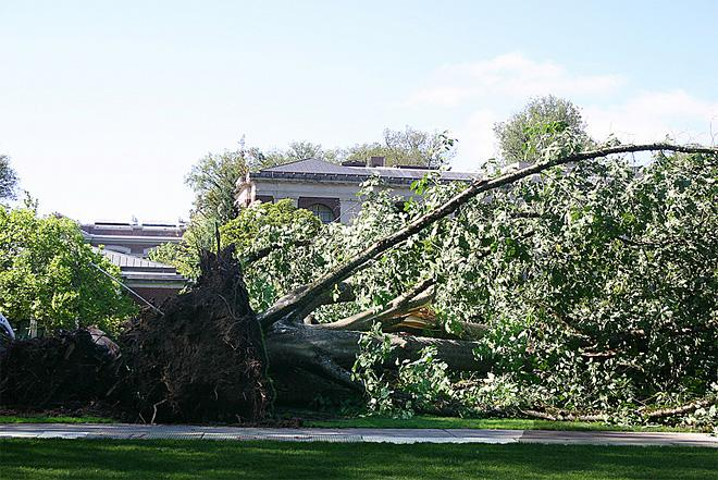 Tree falls on Oregon State quad August 1 (2)