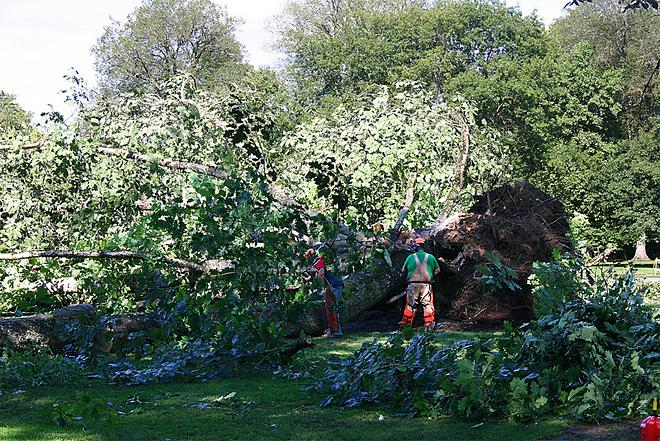 Tree falls on Oregon State quad August 1 (7)