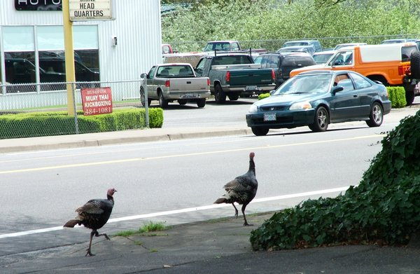 Turkeys on West 11th at Bailey Hill