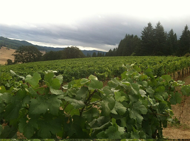 Weather makes for sweeter grapes and early harvest at Oregon wineries - 01