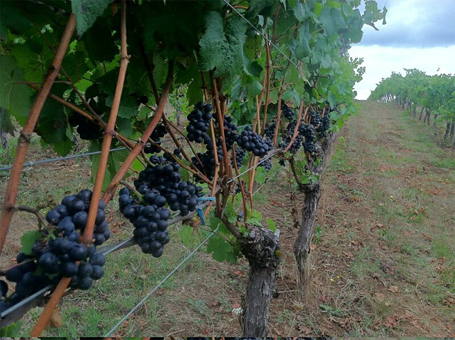 Weather makes for sweeter grapes and early harvest at Oregon wineries - 02