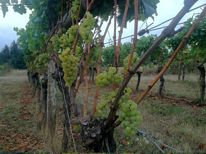 Weather makes for sweeter grapes and early harvest at Oregon wineries - 03