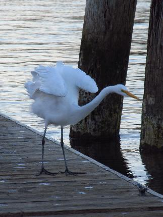 White Heron photo taken in Reedsport and submitted by YouNews photographer themom51