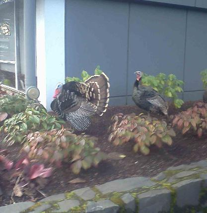 Wild turkeys in downtown Eugene by YouNews reporteryurii