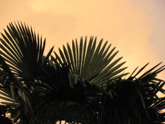 Top of Palm Tree
