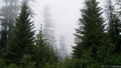 Doug firs in the fog