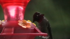 Male and female Hummingbirds