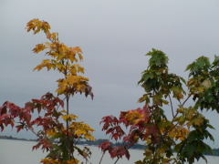 One Maple tree, numerous colors